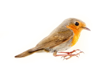 Robin (redbreast, Erithacus rubecula) is earliest and latest singing bird. Sings at dusk. Side view. Isolated on white background