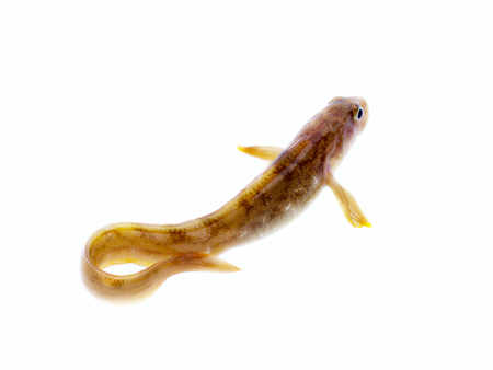 fish wriggles on a white background. very attractive animal in different poses
