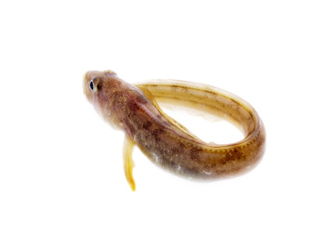viviparous: fish wriggles on a white background. very attractive animal in different poses