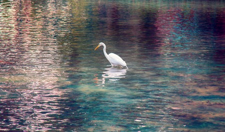 Great white egret (American egret, Egretta alba)hunting for small fish in a mountain pond with clear water. Bill as throwing spear, bird kills fish with lightning speed. Beautiful glare and reflections