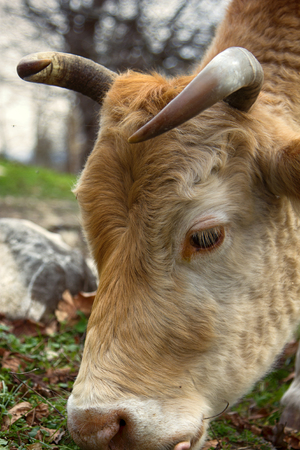 hoofed: bright cow in open pasture head with antlers closeup