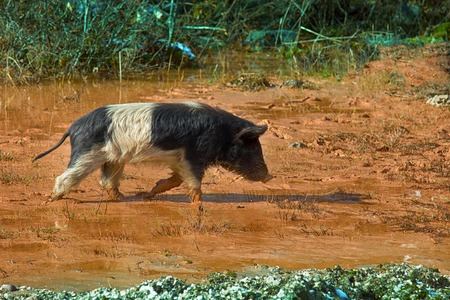 In puddle nice and big you will always find happy pig. Domestic Pigs are free-living in the Caucasus and in many countries of Asia Stock Photo