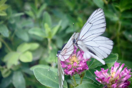 ardor: Butterflies is time ardor of love. Mating behavior. Copulation butterfly - Black-veined white (Aporia crataegi), thorn butterfly