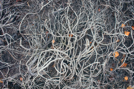 Death of plants, deforestation. In air pollution and fires in forest-tundra crowberry died (interlocking dry stalks). Russian Lapland