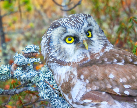 Bird of Minerva, goddess of wisdom. Portrait of boreal owl (Tengmalms owl, Aegolius funereus) in characteristic interior of Northern taiga (boreal coniferous forest) Stock Photo