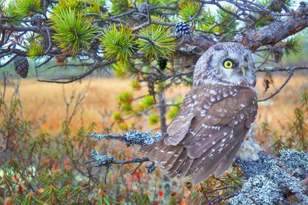 Tengmalms owl (Aegolius funereus) near nest. Protection of offspring and aggressive behavior. Boreal coniferous forest (taiga) Stock Photo
