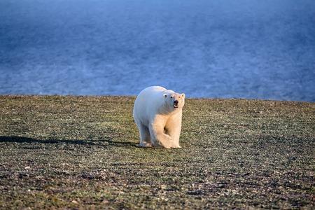 暗いと死んで北極でシロクマが砂漠します。食品の問題は、カラ海でクマの人口を減らします。写真家を右に来てください。