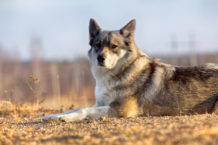 East Siberian Laika (related breed husky) weasel disappeared in brushwood,
