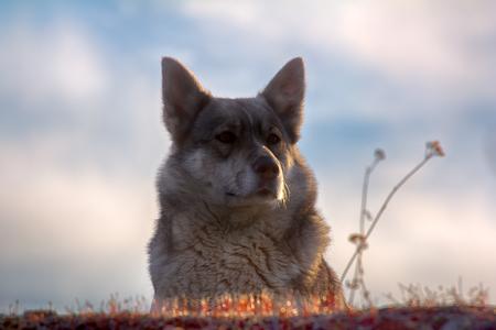 East Siberian Laika (related breed husky)