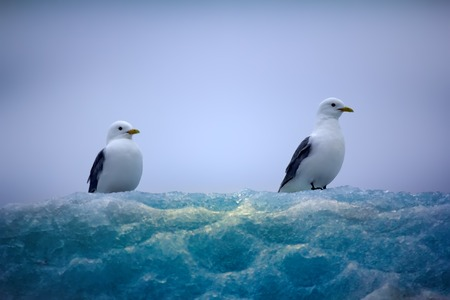Harsh appeal of Arctic. Kittiwakes (tarrock, Rissa tridactyla) sitting on top of iceberg, ice surface is covered in beautiful caverns as result of wind and rain. Ice pattern, ice lace, surface texture Stock Photo