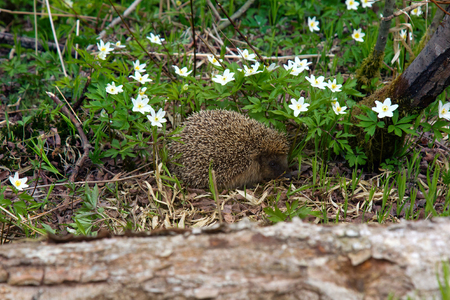 Young hedgehog in spring forest among anemones. Common hedgehog (Erinaceus europeus) and European wood anemone (Anemone nemorosa) Stock Photo