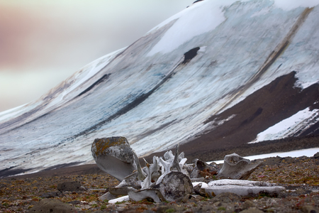 Exotic Arctic, Arctic adventure. Huge bones of ancient whales on ancient marine terraces on background of glaciers and Arctic ocean.