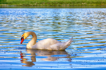 princely: Mute Swan said most beautiful Regal bird because it effectively reveals fether and crucially swims. But its just aggressive posture, and misconception comes from medieval bestiary
