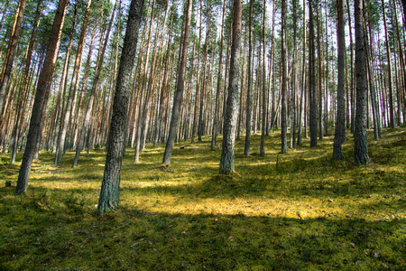 Kames (sowback) - sandy-pebble hills were formed as result of movement of ancient glaciers. Covered with pine forests on drained soils, North-West Russia, boreal forests, forest management