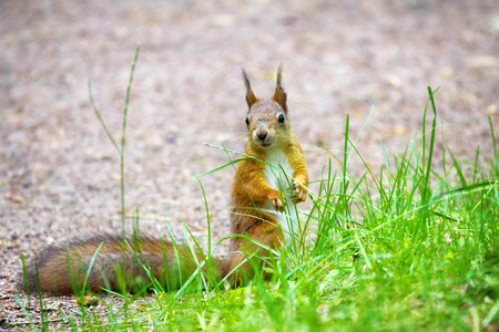 Red Squirrel on the gravel path in the Park