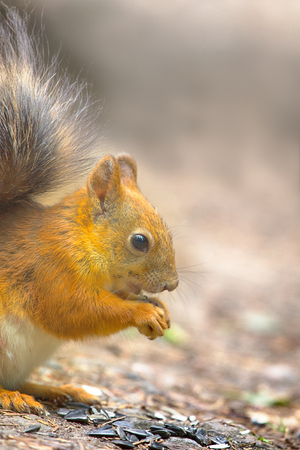 Red Squirrel on the gravel path in the Park. The animal begs and eats sunflower seeds, feeding wild animals