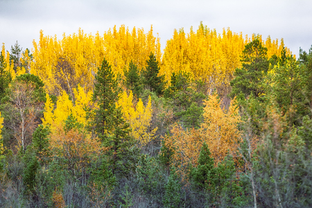 Mellow autumn. Golden autumn aspen. Sad beauty of autumn and Royal rich colors