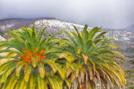 subtropical black sea coast of the Caucasus in winter time. Old palm trees. Abkhazia, Adjara. Ancient Colchis
