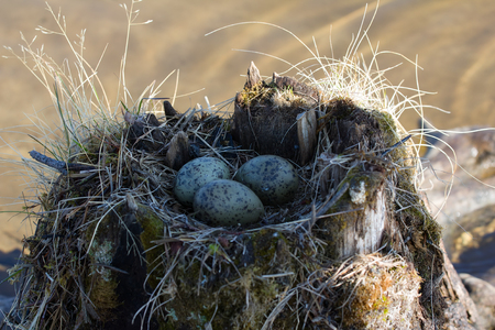 Guide bird nest for birdwatchers. Unusual way of nesting. Common gull made nest on top of stump in water Stock Photo