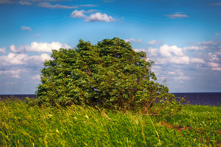 Green willow Bush elastically bends, sway in strong wind. Summer meadow 写真素材