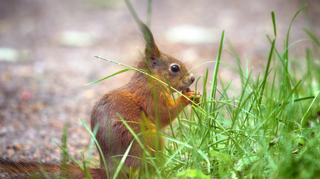 Red Squirrel on the gravel path in Park Stock Photo