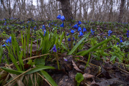 Spring flowers, first flowering, ephemeroid, bulbiferous plant. Sibirian squill, mercury (Scilla siberica). Snowdrops on Black sea coast of Caucasus. Cropping object, perennial plant, forest plant