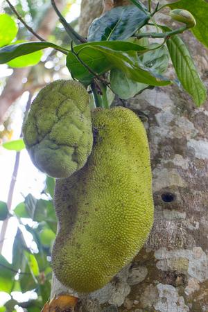 Breadfruit on tree. ripe fruit of tropical gardens