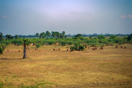 Runderen en schapen fokken in India. Land dat is aangetast door overbegrazing (overbevissing), aantasting van het weiland, verarming van de bodem, aantasting van het milieu, aantasting van het landschap, verlies van biodiversiteit
