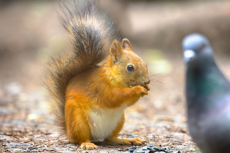 Red Squirrel on the gravel path in the Park. The animal begs and eats sunflower seeds which took away from the dove, feeding wild animals, synanthropic animals Stock Photo