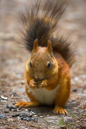 Red Squirrel on the gravel path in the Park. The animal begs and eats sunflower seeds, feeding wild animals, synanthropic animals Stock Photo