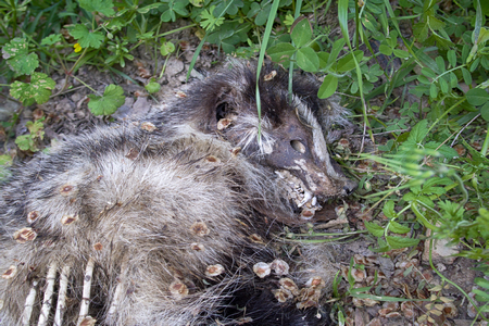 Semi decomposed dead badger (Meles meles) on roadside. Cars kill bausons often at night, when animals eat downed machine insects. Ugly death