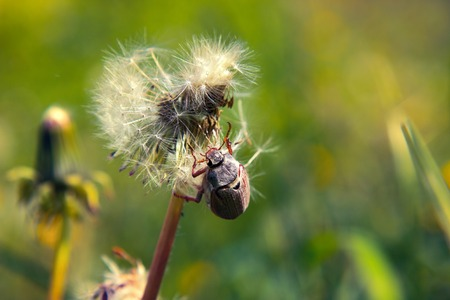 Beetle on dandelion summer. may chafer (lat. Melolontha) a genus of insects found in Europe.