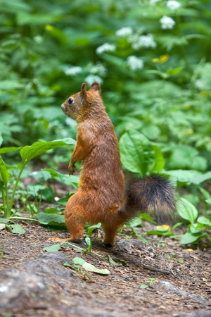 Red Squirrel on the gravel path in the Park. The animal begs and eats sunflower seeds