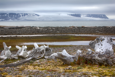 Exotic Arctic, Arctic adventure. Huge bones of ancient whales on ancient marine terraces on background of glaciers and Arctic ocean, fossil record