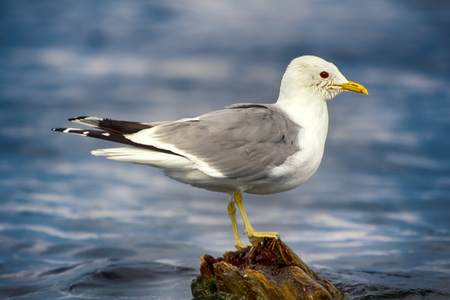 Common gull (Larus canus, adult) bathed, wash head on rotten mossy stump