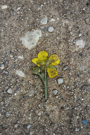 Crushed car hollyhock flower yellow on dirt road, gravel road. Shattered hopes the symbol (concept), one-way love, lost love, cheating