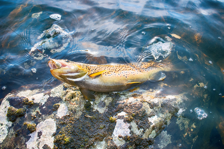 Spinning fishing (lure fishing) trout in lakes of Scandinavia. Brook trout (steelhead rainbow trout, char, bull-trout, cutthroat, lax, Salmo trutta trutta - male) caught on rotating spinner Foto de archivo
