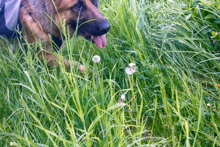 German shepherd on walk in wild, Training in field, trick dog, tracker dog, follow in somebodys footsteps, follow ones nose, dogs sense of smell