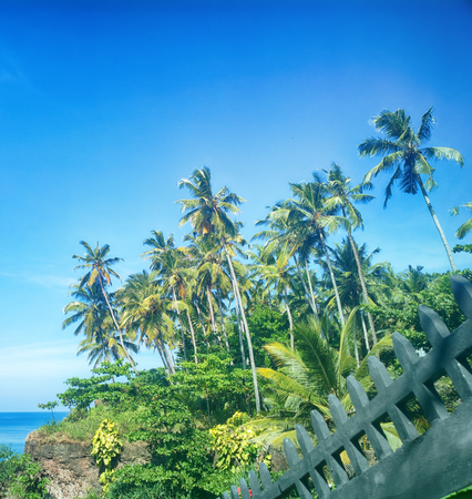 Coconut palms on shore of Indian ocean lend area exotic look pleasant for vacationers in tropics