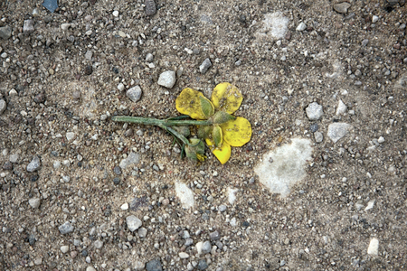 Crushed car hollyhock flower yellow on dirt road. Shattered hopes the symbol (concept), one-way love, lost love, cheating