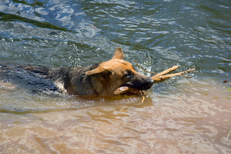 German shepherd on walk in wild, Training in field, trick dog, tracker dog, follow in somebodys footsteps, follow ones nose, dogs sense of smell, get object in river, carrying