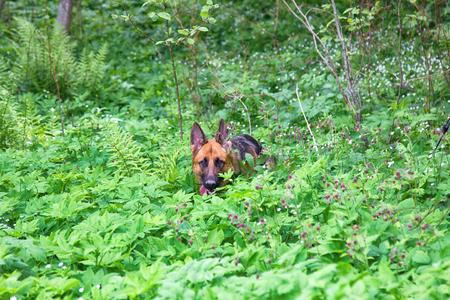 German shepherd on walk in wild, Training in field, trick dog, tracker dog, follow in somebodys footsteps