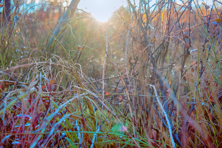 Autumn in Arctic circle. Low sun before Arctic winter, trees and bushes lose last yellow leaves, cold sun, frozen horsetail