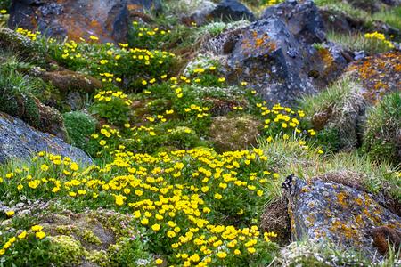 One of northernmost flower in world. Buttercup Sulphur-yellow (Ranunculus sulphureus) adapted to cold low rise, wax flowers, volatile substance protoanemonin. Arctic habitat. Land France Joseph Stock Photo