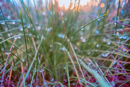 Dewy morning. Polar Scandinavian morning, sunrise, grass in heavy drops of dew, dewiness. Polar circle Stock Photo