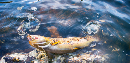 Spinning fishing (lure fishing) trout in lakes of Scandinavia. Brook trout (steelhead rainbow trout, char, bull-trout, cutthroat, lax, Salmo trutta trutta - male) caught on rotating spinner Stock Photo