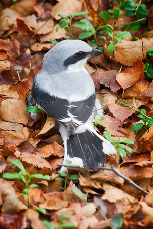 Predatory passerine birds. Great grey Shrike (butcher-bird, Lanius excubitor) in search of food - it flies to ground, catches mice, lizards or insects