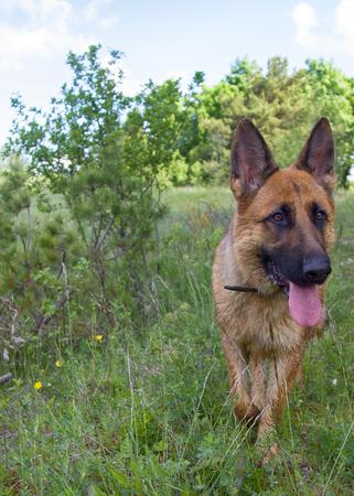 German shepherd on walk in wild, Training in field, trick dog, tracker dog, follow in somebodys footsteps, follow ones nose