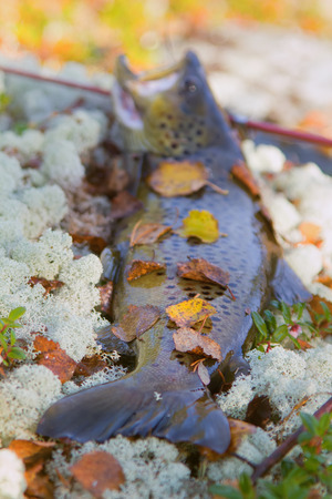 Luxury fishing trophy from autumn lake. Male salmon (brown trout) in breeding coloration on bed of white lichen with yellow leaves