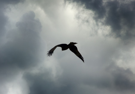 Bird in the sky as symbol of freedom, to release. Bird of prey (kite) in sky on background before rain clouds